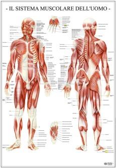 Sistema muscolare