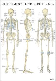 Sistema scheletrico